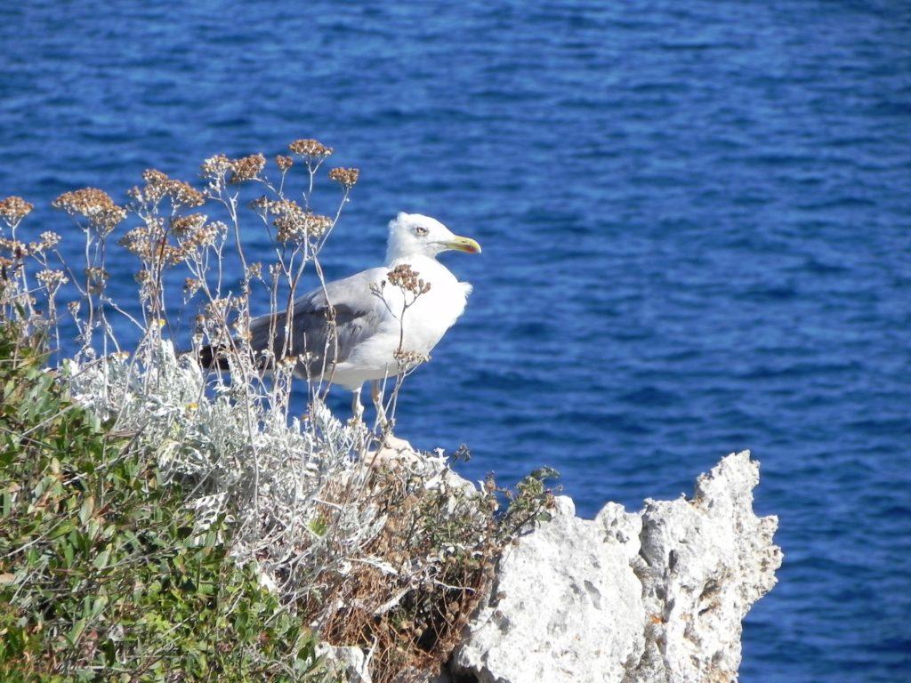 Foto di un gabbiano ripreso da lontano sulla costa diArenal d'en Castel di Menorca