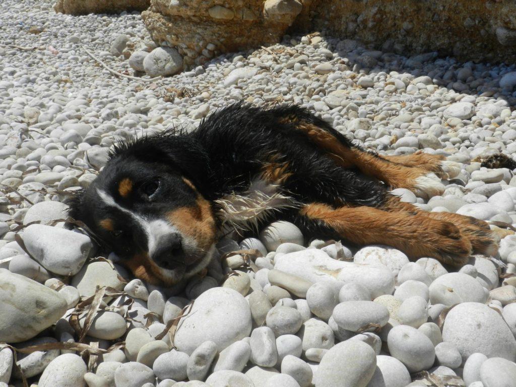 Pastore bernese su una spiaggia di sassi
