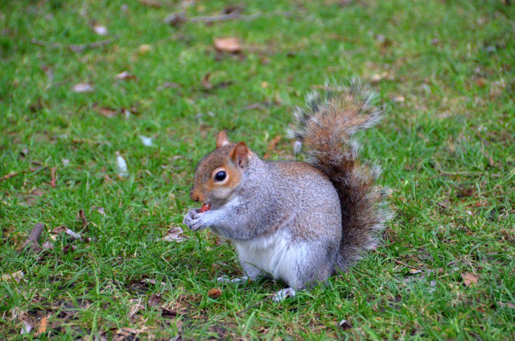 In questo bel parco di Londra è possibile vedere tanti piccoli scoiattoli che girano indisturbati