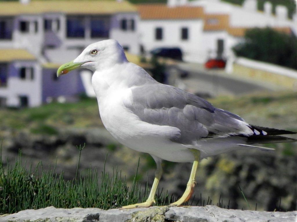 Sono tanti i gabbiani presenti alle isole Spagnole delle Baleari